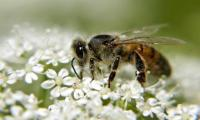 Long-term study links neonicotinoids to wild bee declines