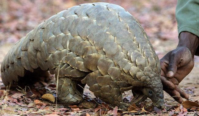 'Pangolin is the most heavily trafficked mammal'