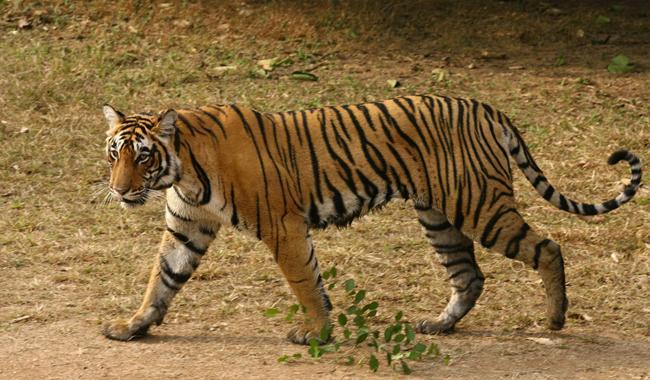 ´Man-eating´ tiger shot dead in India