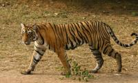 ´Man-eating´ tiger shot dead in India