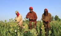 Under Ghani, opium crops spread in Afghanistan