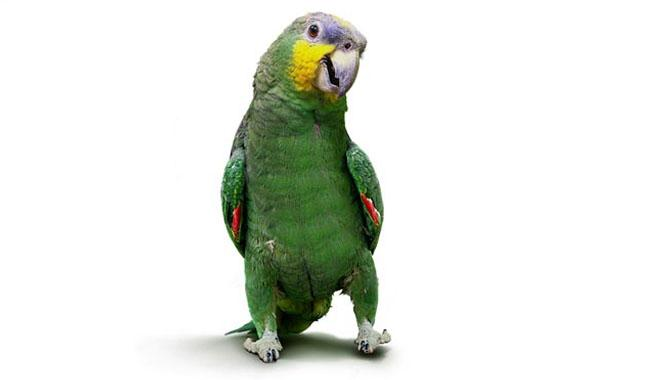 Parrot exposes cheating husband's affair to wife