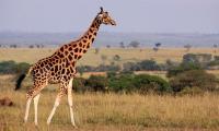 Giraffes ´threatened with extinction´