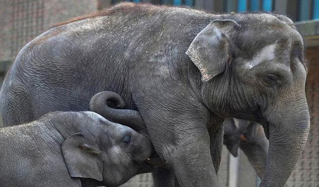 Wild elephants rescued from muddy bomb crater in Cambodia