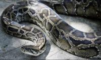 Indonesian man found dead inside giant python