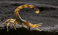 Strike force: world´s most venomous scorpion in action