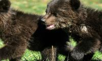 Orphaned bear cubs win hearts in Montenegro