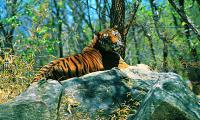 India's denial of rights to tribals in tiger reserves raises fears of violence