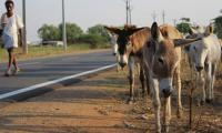 Donkey hides worth Rs.118.4 million recovered by police