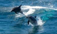 Wild dolphins are sicker than captive ones: US study