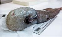 Faceless fish among weird deep sea Australian finds