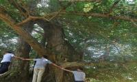 1,200 years old Ginkgo tree still bears fruit in China