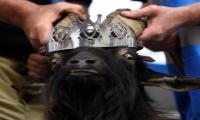 In a remote Irish town, a goat reigns supreme