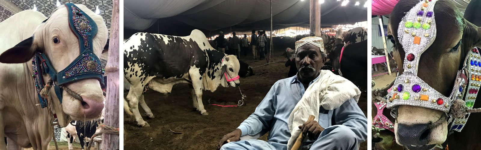 A trip to Asia's biggest and famous cow 'Mandi' | Pakistan | thenews