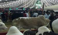 A trip to Asia's biggest and famous cow 'Mandi'