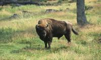 250-year-old Bison spotted and killed by hunters