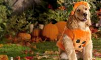 Dog welcomes guests in a pumpkin costume