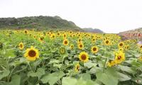 Sea of sunflowers attracts thousands of tourists in China