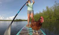 Fowl play in Florida as hen hangs ten