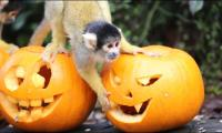 Pumpkin party for animals in American zoo