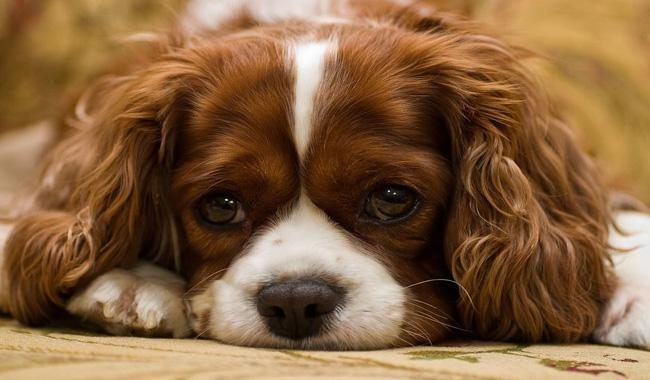Scientists say puppy dog eyes are for human benefit