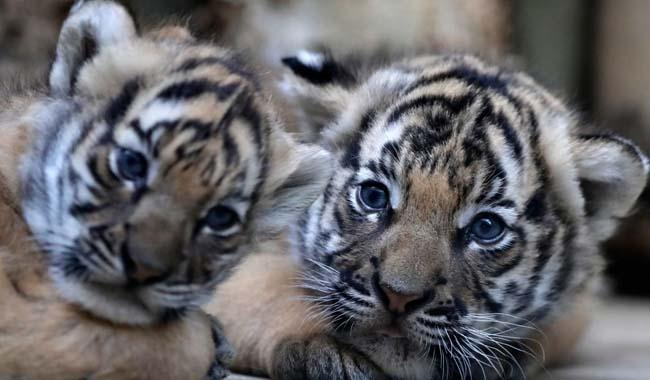 Prague zoo: First glimpse of critically endangered Malayan tiger cubs