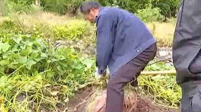 Chinese farmer grows ginormous sweet potato