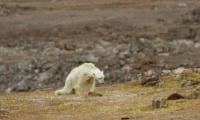 Tragic video shows polar bear on verge of death due to climate change