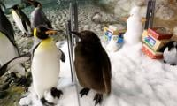 Baby penguin ´Maru´ takes first public waddle in Singapore