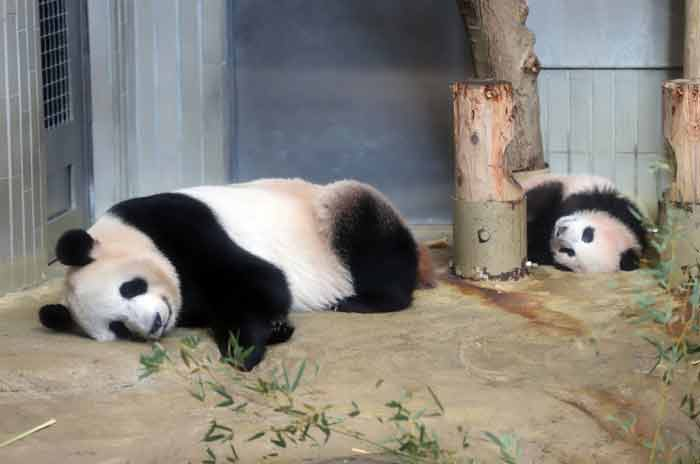 Female giant panda cub Xiang Xiang (R) and her mother Shin Shin (L) lay on the ground during a press preview at Ueno Zoo in Tokyo on December 18, 2017. -AFP