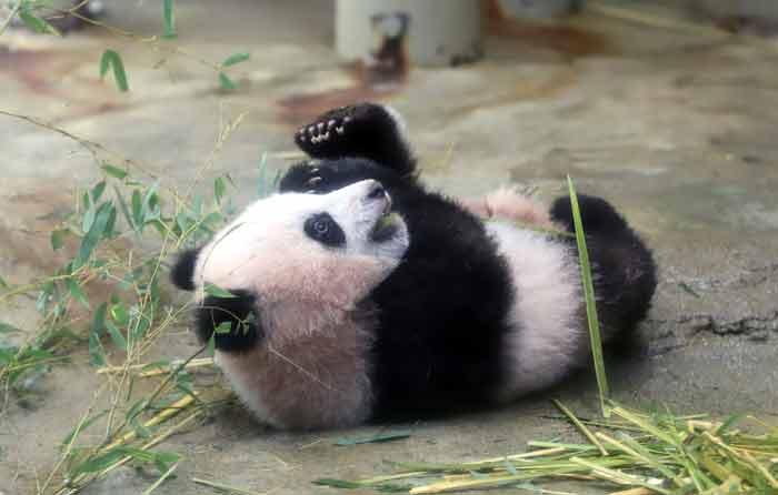 Baby panda Xiang Xiang plays at its enclosure during a press preview at Ueno Zoo in Tokyo on December 18, 2017. -AFP