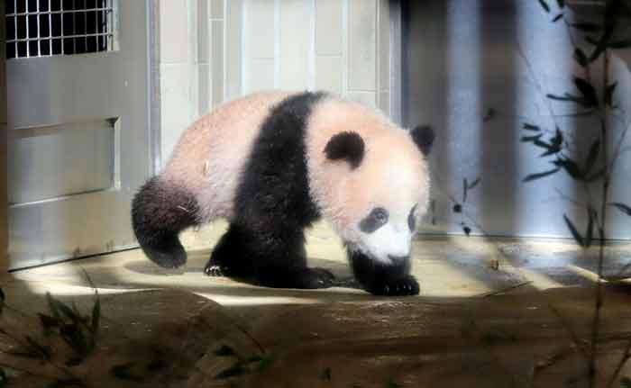Baby panda Xiang Xiang plays at its enclosure during a press preview at Ueno Zoo in Tokyo on December 18, 2017.-AFP