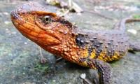 Lizard, turtle among more than 100 new species found in Mekong region