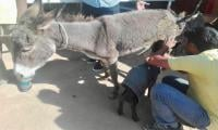 ACF Creates Donkey-Friendly Harnesses