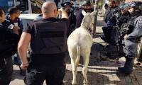 Israeli forces arrest donkey in Jerusalem