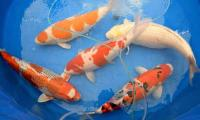 Koi story: priceless Japanese fish make a splash