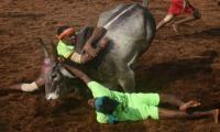 Two killed in Indian bull-taming festival