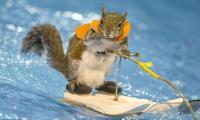 Heartwarming stunts of water-skiing squirrel