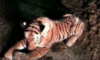 Cuddly toy tiger causes havoc in Scottish farm