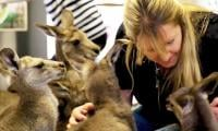 Australian couple raising 17 kangaroos