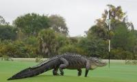 'Chubbs' the alligator, returns to the golf course