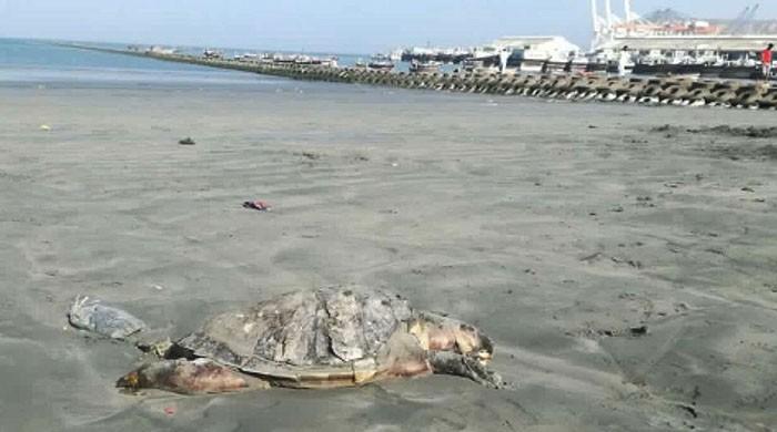 Endangered olive ridley turtle found dead on Gwadar coast