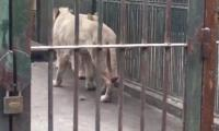 Lion chews off its own tail in China zoo
