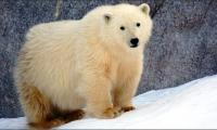 International Polar Bear Day'18 being celebrated today