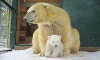 First polar bear born on British soils after 25 years