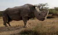 世界上最后一只雄性北方白犀牛死亡