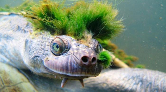 Australia's 'punk turtle' risks being last of the Mohicans