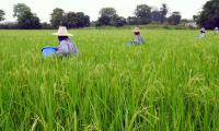 Global warming may have ´devastating´ effects on rice: study