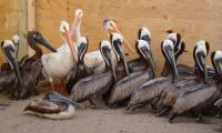 Hundreds of birds stricken after Rotterdam oil spill