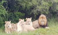 A group of lions eats three poachers alive in S Africa